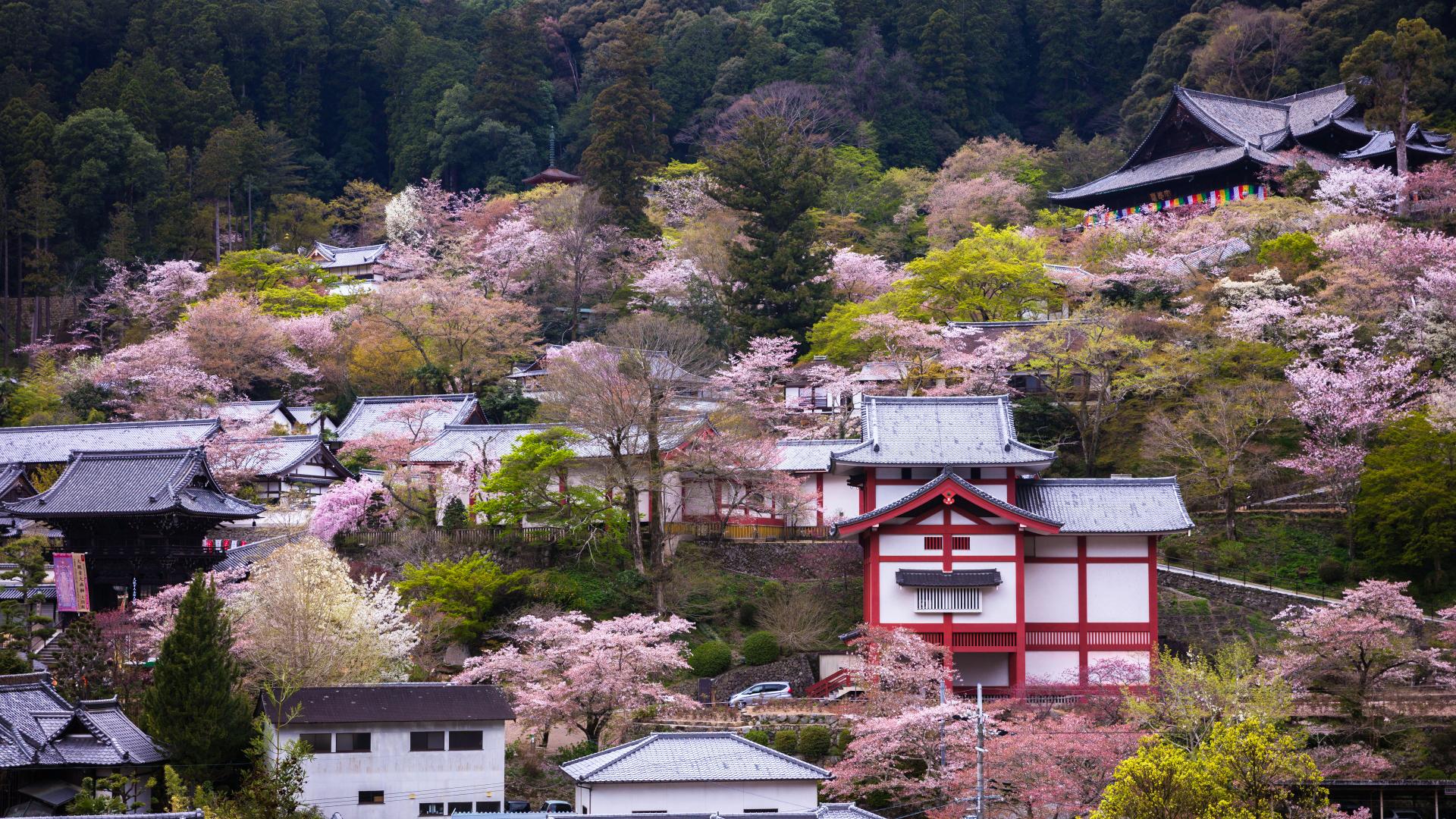 4014273_m 奈良県  長谷寺(境内に約1000本もの桜が咲き誇る春におすすめ桜スポット! 写真の紹介、アクセス情報や駐車場情報など)