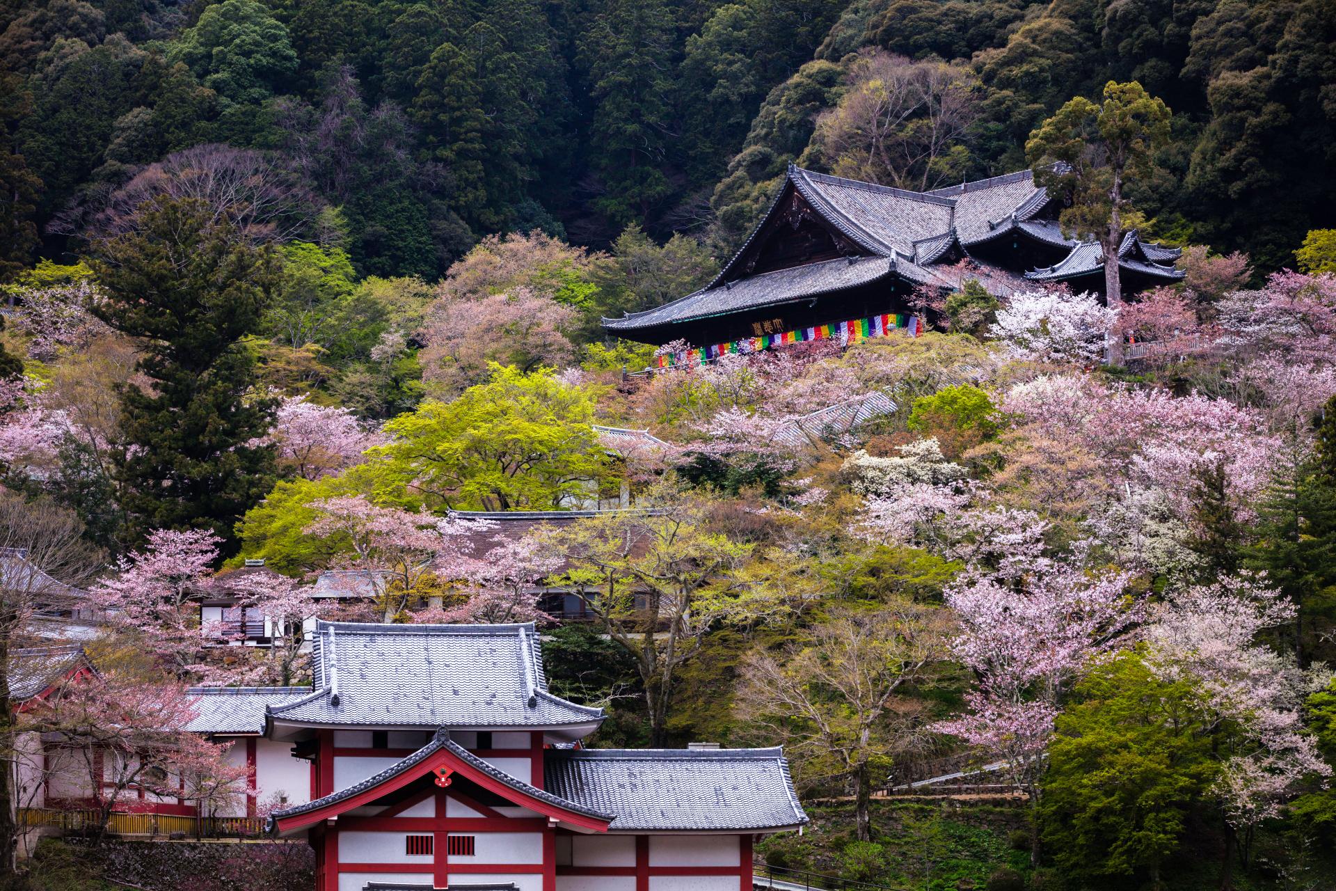 4014274_m 奈良県  長谷寺(境内に約1000本もの桜が咲き誇る春におすすめ桜スポット! 写真の紹介、アクセス情報や駐車場情報など)