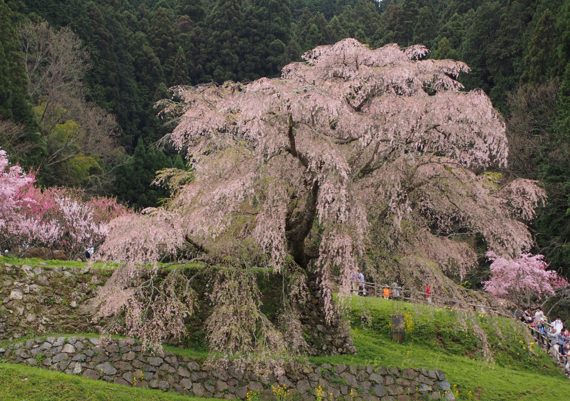 416922_m 奈良県  又兵衛桜(樹齢300年の美しい枝垂れ桜が咲く春におすすめのスポット! 写真の紹介、アクセス情報や駐車場情報など)