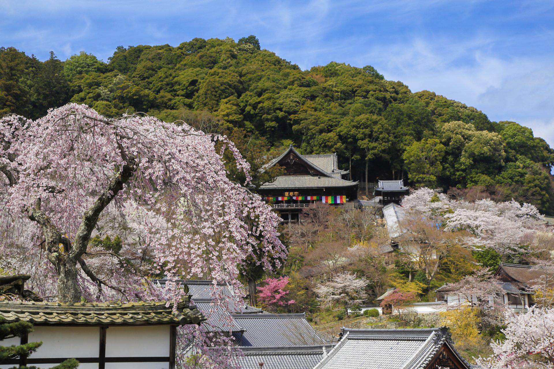 4517372_m 奈良県  長谷寺(境内に約1000本もの桜が咲き誇る春におすすめ桜スポット! 写真の紹介、アクセス情報や駐車場情報など)