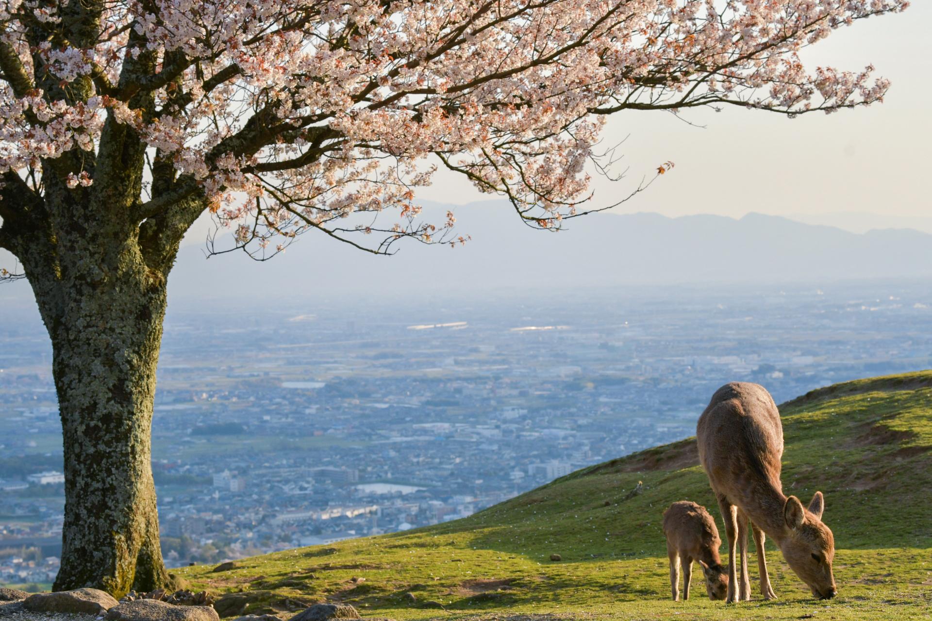 4521076_m 奈良県  奈良公園(鹿と桜の美しい景色が見れる春におすすめの桜スポット! 写真の紹介、アクセス情報や駐車場情報など)