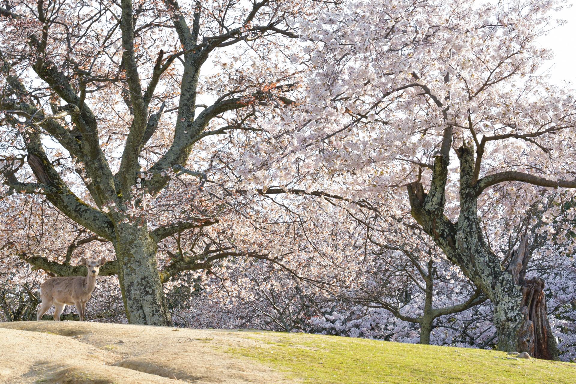 4521078_m 奈良県  奈良公園(鹿と桜の美しい景色が見れる春におすすめの桜スポット! 写真の紹介、アクセス情報や駐車場情報など)