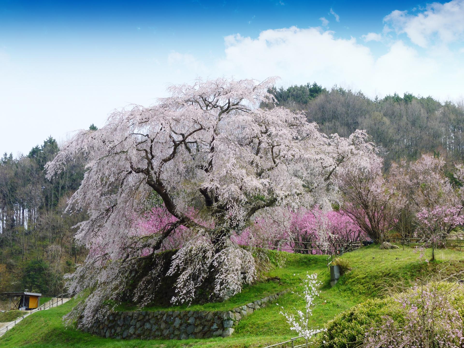 890147_m 奈良県  又兵衛桜(樹齢300年の美しい枝垂れ桜が咲く春におすすめのスポット! 写真の紹介、アクセス情報や駐車場情報など)