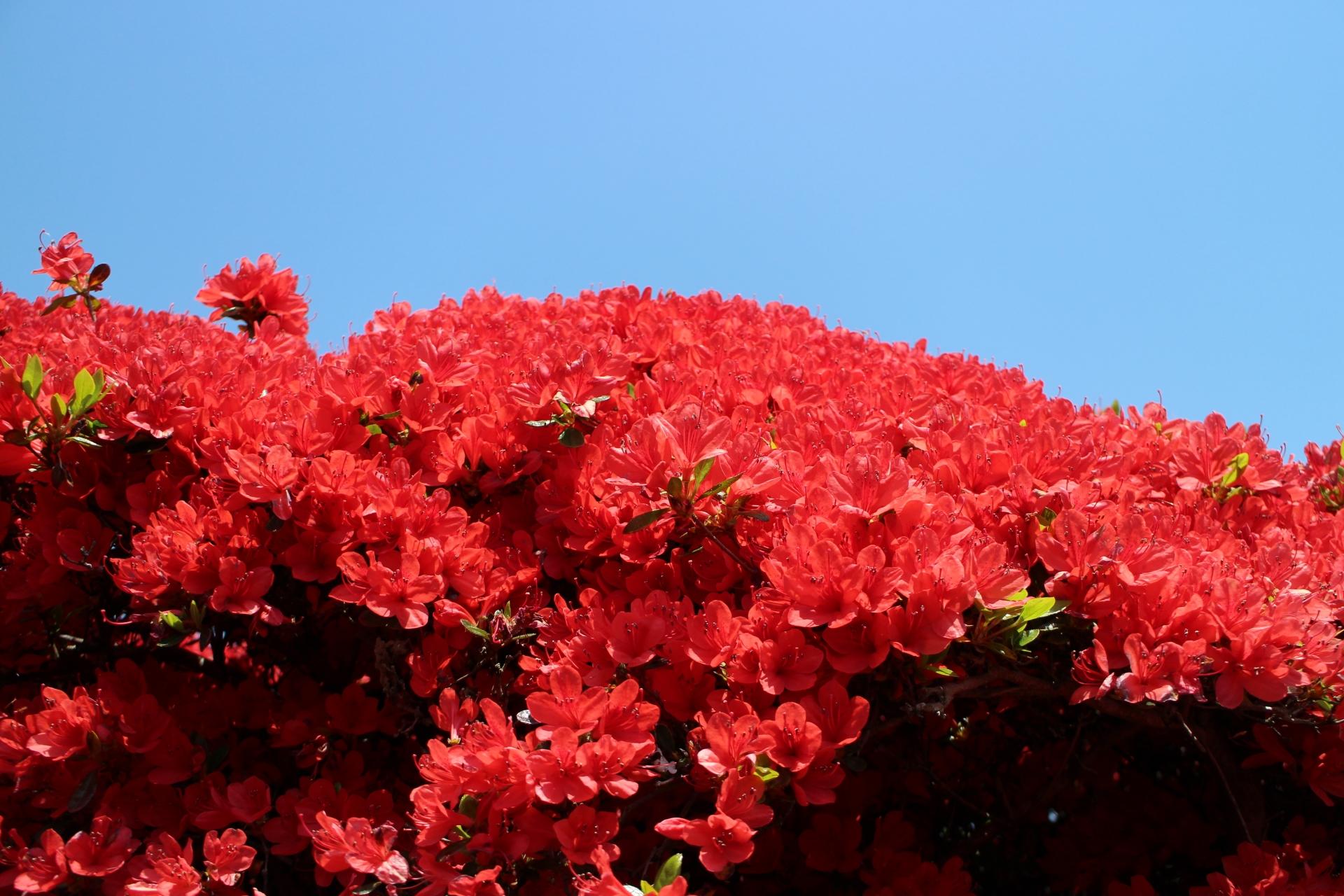 1002231_m 京都府 長岡天満宮(燃えるように赤く咲き乱れるキリシマツツジの名所スポット! 写真の紹介、アクセス情報など)