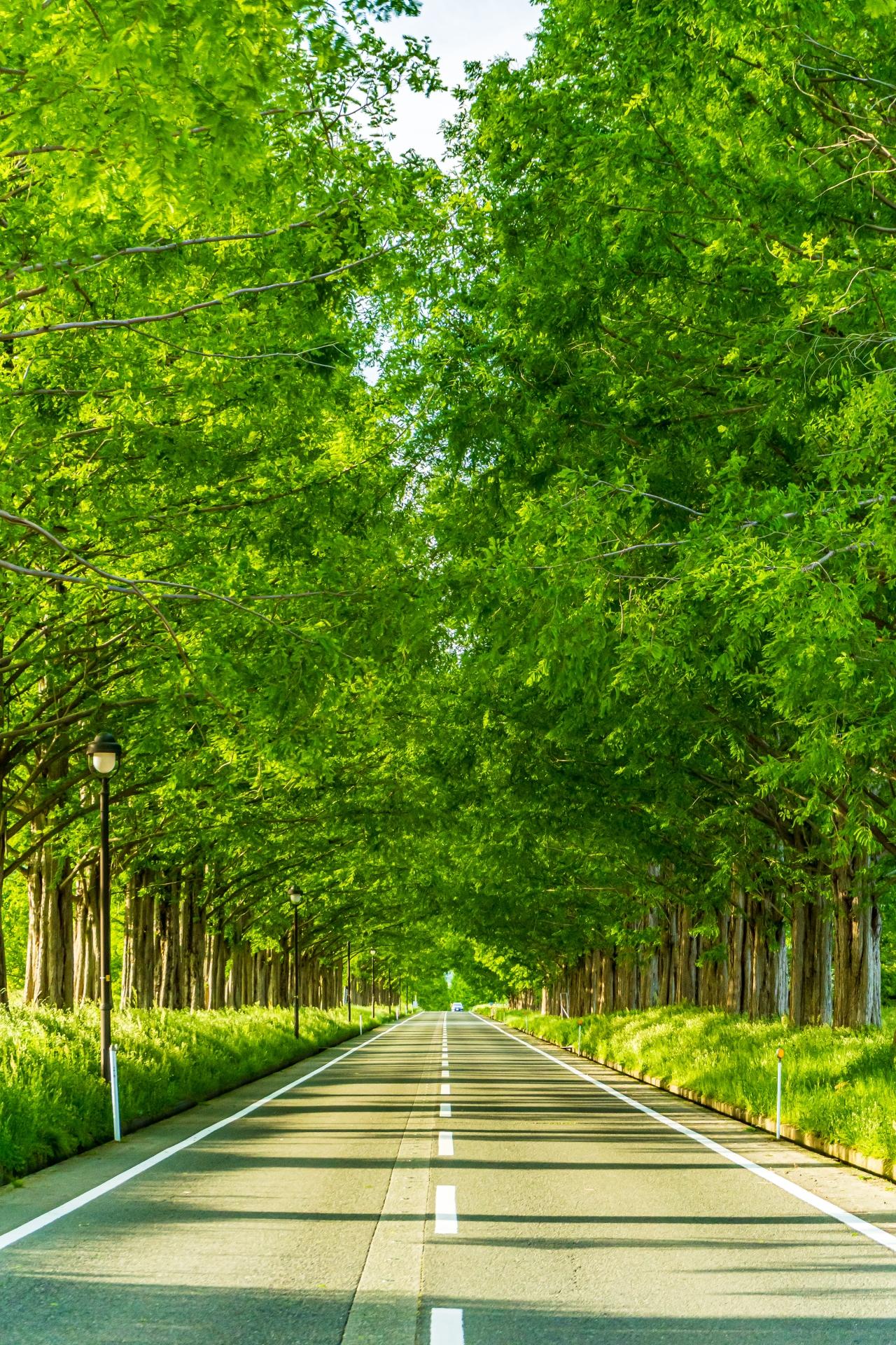 2494323_m 滋賀県  メタセコイア並木(約2.4km続く絶景のメタセコイア並木! 新緑の季節におすすめのスポット。 写真の紹介、アクセス情報や駐車場情報など)