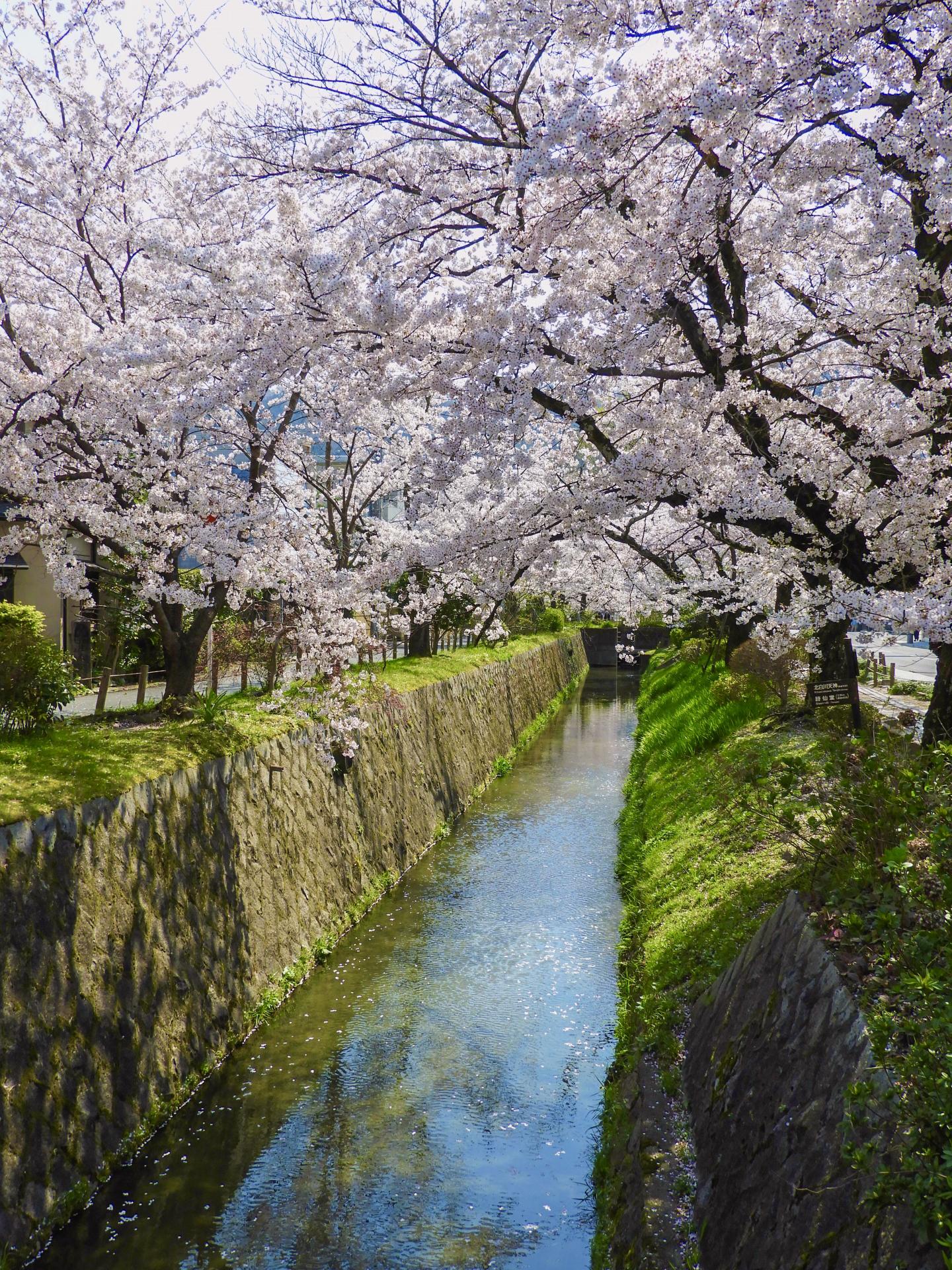 3718774_m 京都府 哲学の道(疎水沿いに咲く桜の並木道が美しい春におすすめ写真スポット! 写真の紹介、アクセス情報など)