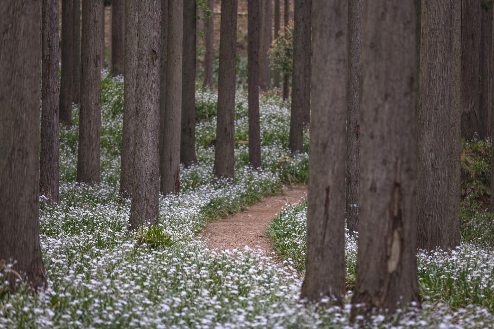 3866596_m 京都府 綾部シャガの群生地(森の中に現れる神秘的なシャガの群生景色! 写真の紹介、アクセス情報など)