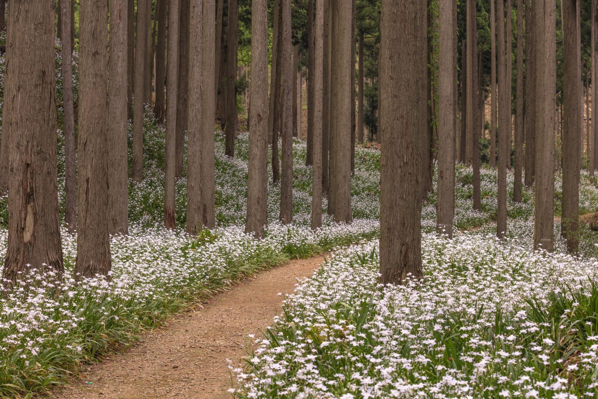 3866675_m 京都府 綾部シャガの群生地(森の中に現れる神秘的なシャガの群生景色! 写真の紹介、アクセス情報など)