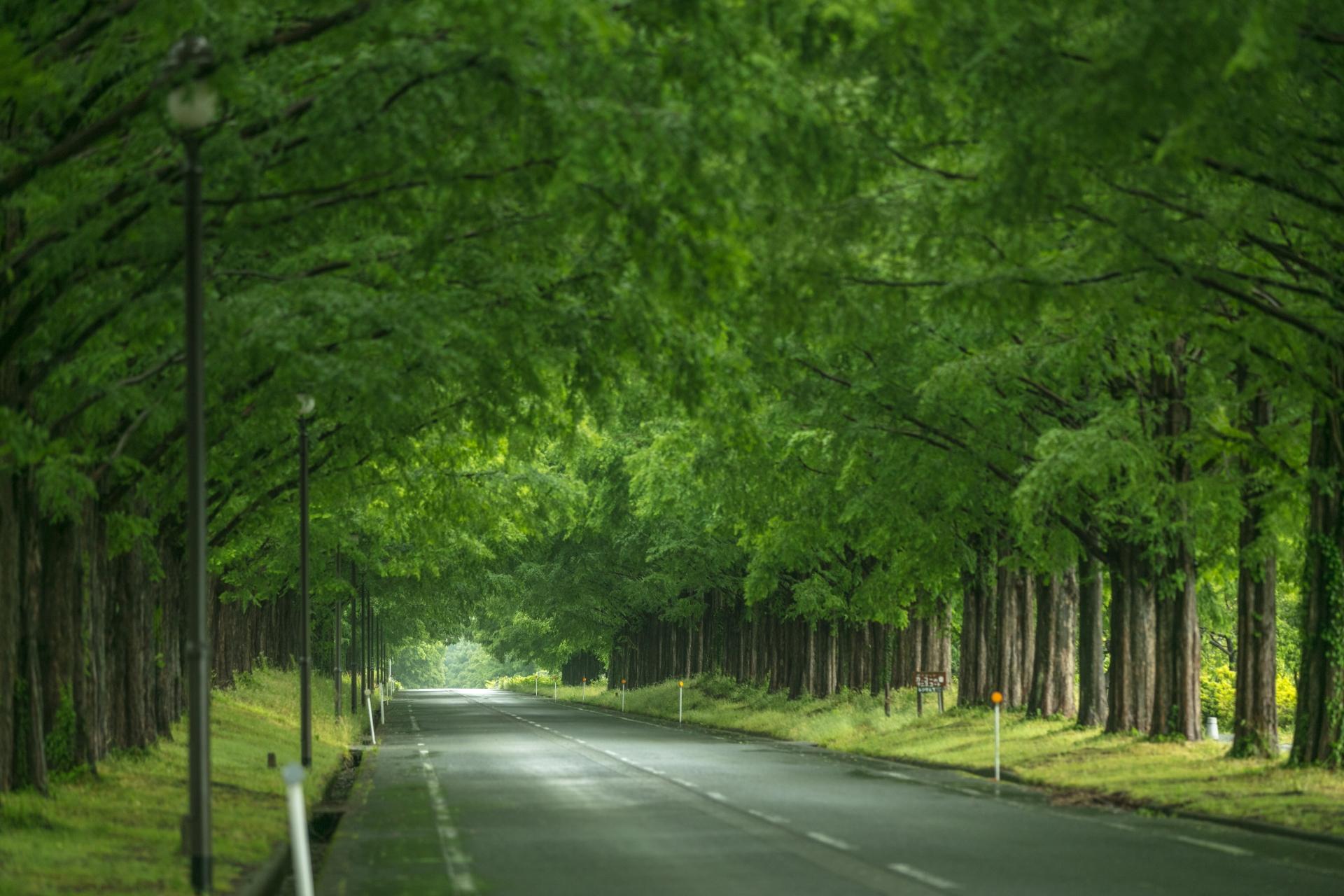 3884239_m 滋賀県  メタセコイア並木(約2.4km続く絶景のメタセコイア並木! 新緑の季節におすすめのスポット。 写真の紹介、アクセス情報や駐車場情報など)
