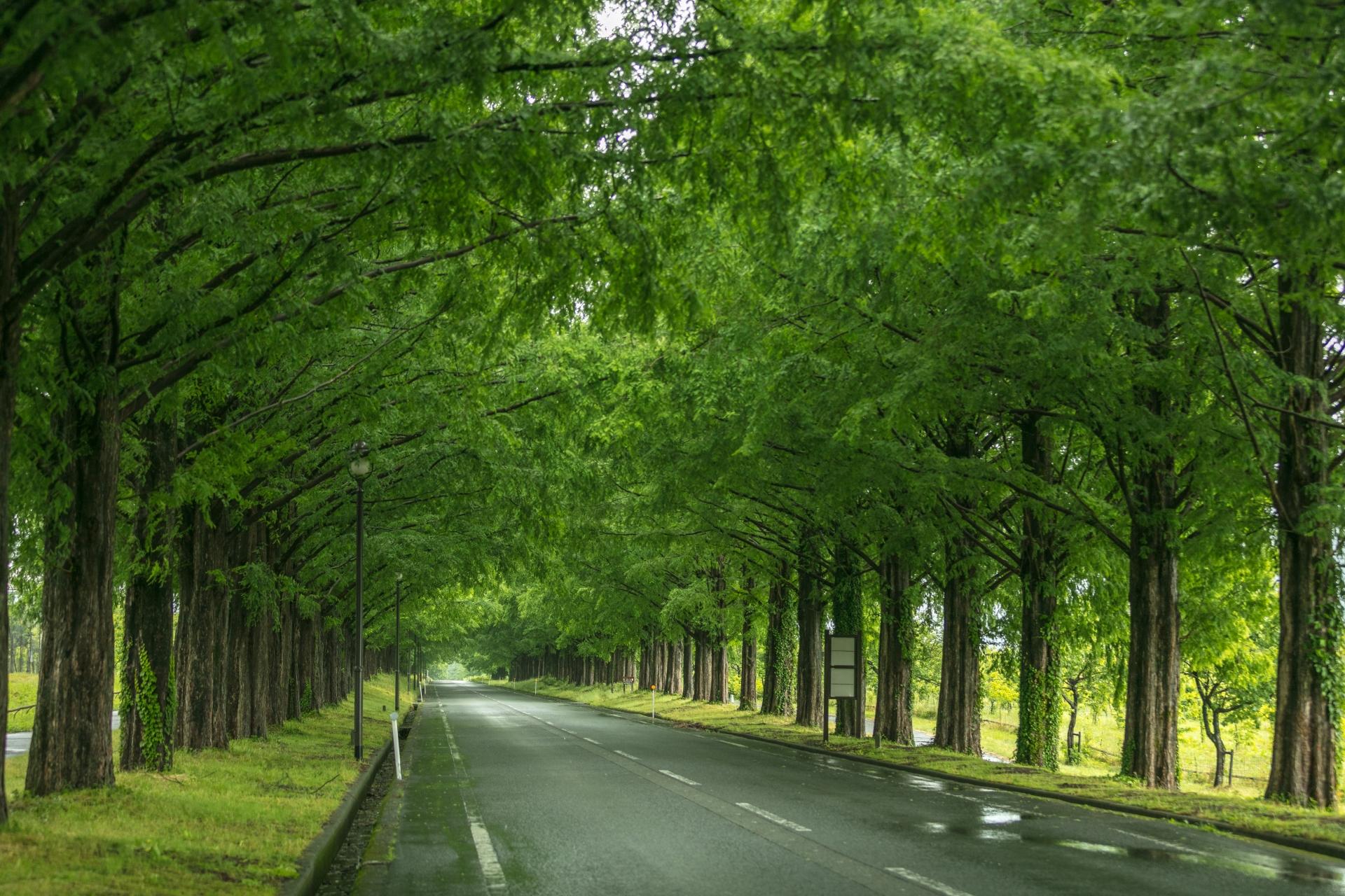 3884240_m 滋賀県  メタセコイア並木(約2.4km続く絶景のメタセコイア並木! 新緑の季節におすすめのスポット。 写真の紹介、アクセス情報や駐車場情報など)