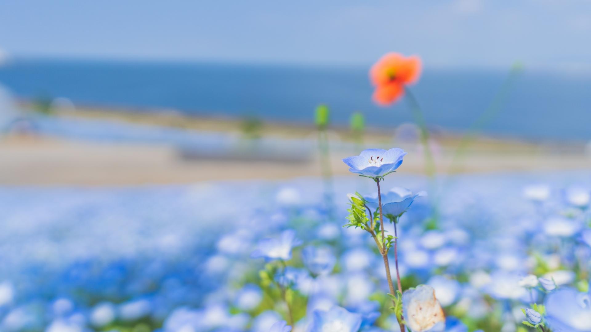 4081359_m 大阪府 大阪まいしまシーサイドパーク(一面に咲くネモフィラと空と海の青の絶景スポット! 写真の紹介、アクセス情報など)