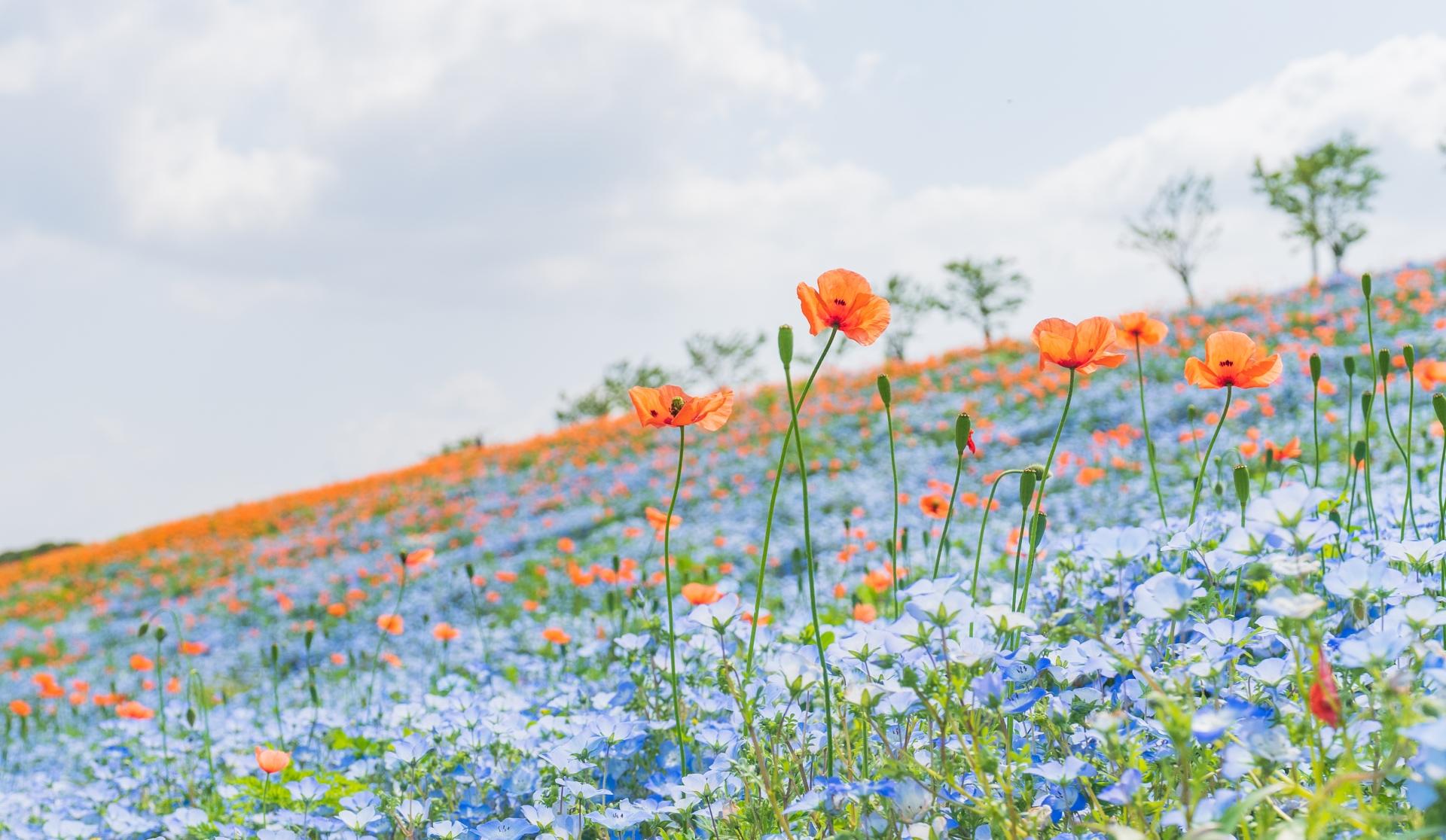 4081416_m 大阪府 大阪まいしまシーサイドパーク(一面に咲くネモフィラと空と海の青の絶景スポット! 写真の紹介、アクセス情報など)