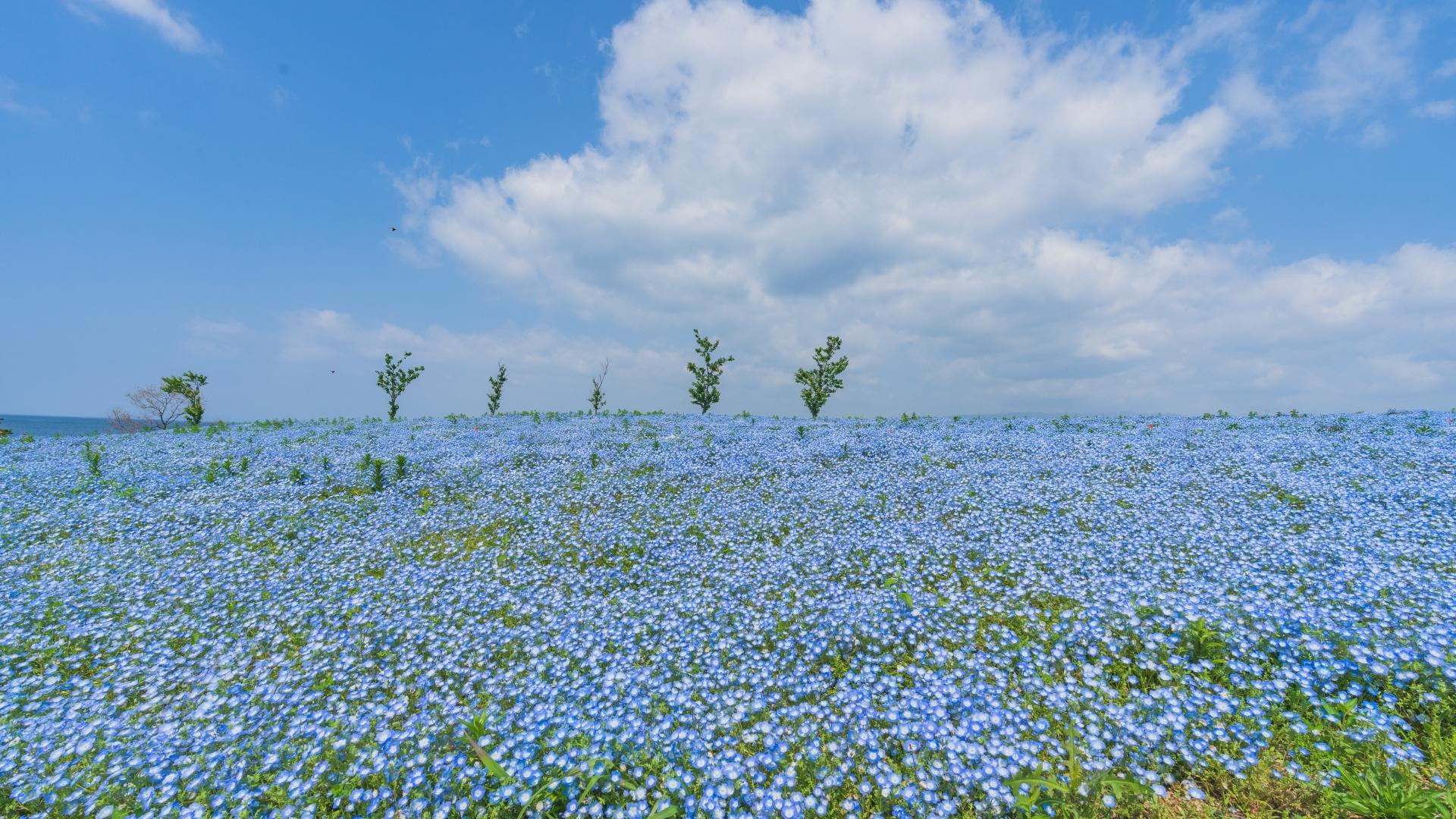 4081434_m 大阪府 大阪まいしまシーサイドパーク(一面に咲くネモフィラと空と海の青の絶景スポット! 写真の紹介、アクセス情報など)