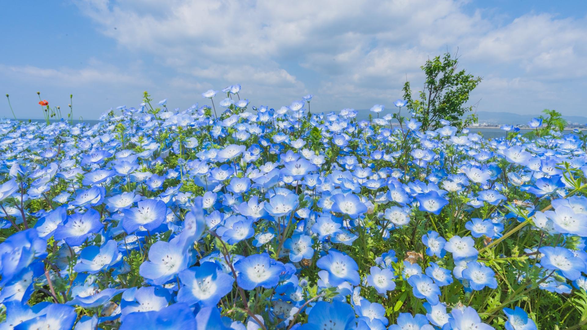 4083012_m 大阪府 大阪まいしまシーサイドパーク(一面に咲くネモフィラと空と海の青の絶景スポット! 写真の紹介、アクセス情報など)