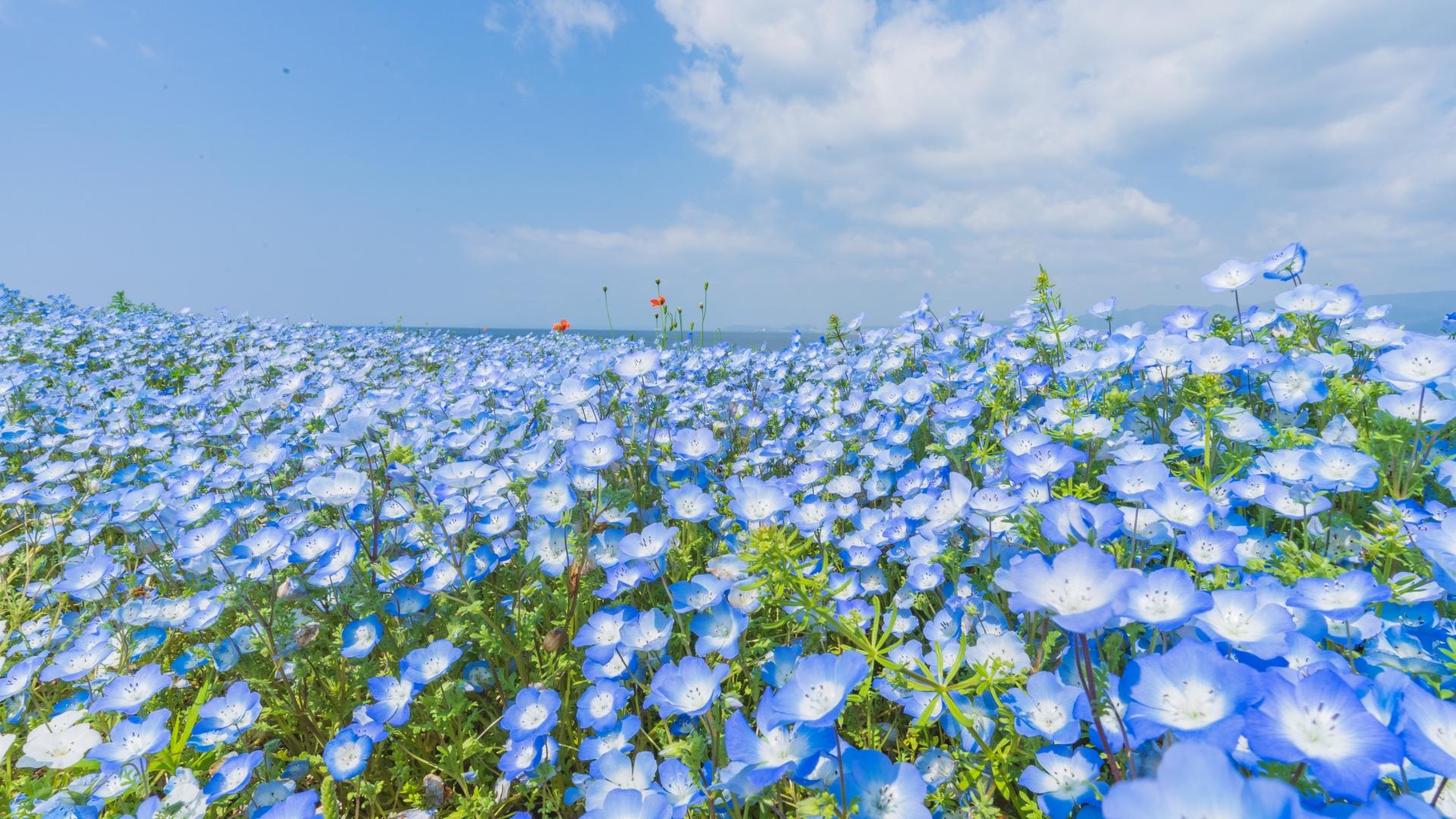 4083013_m 大阪府 大阪まいしまシーサイドパーク(一面に咲くネモフィラと空と海の青の絶景スポット! 写真の紹介、アクセス情報など)