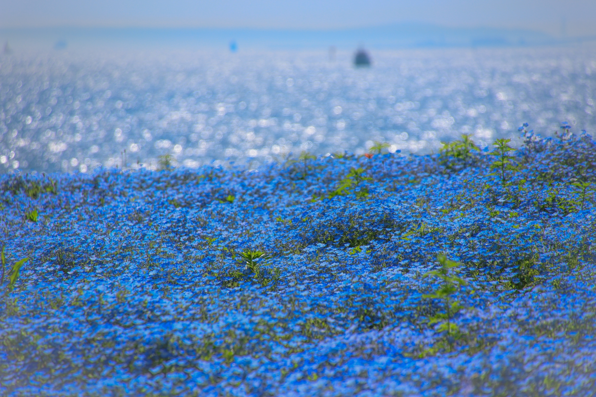 4488205_m 大阪府 大阪まいしまシーサイドパーク(一面に咲くネモフィラと空と海の青の絶景スポット! 写真の紹介、アクセス情報など)