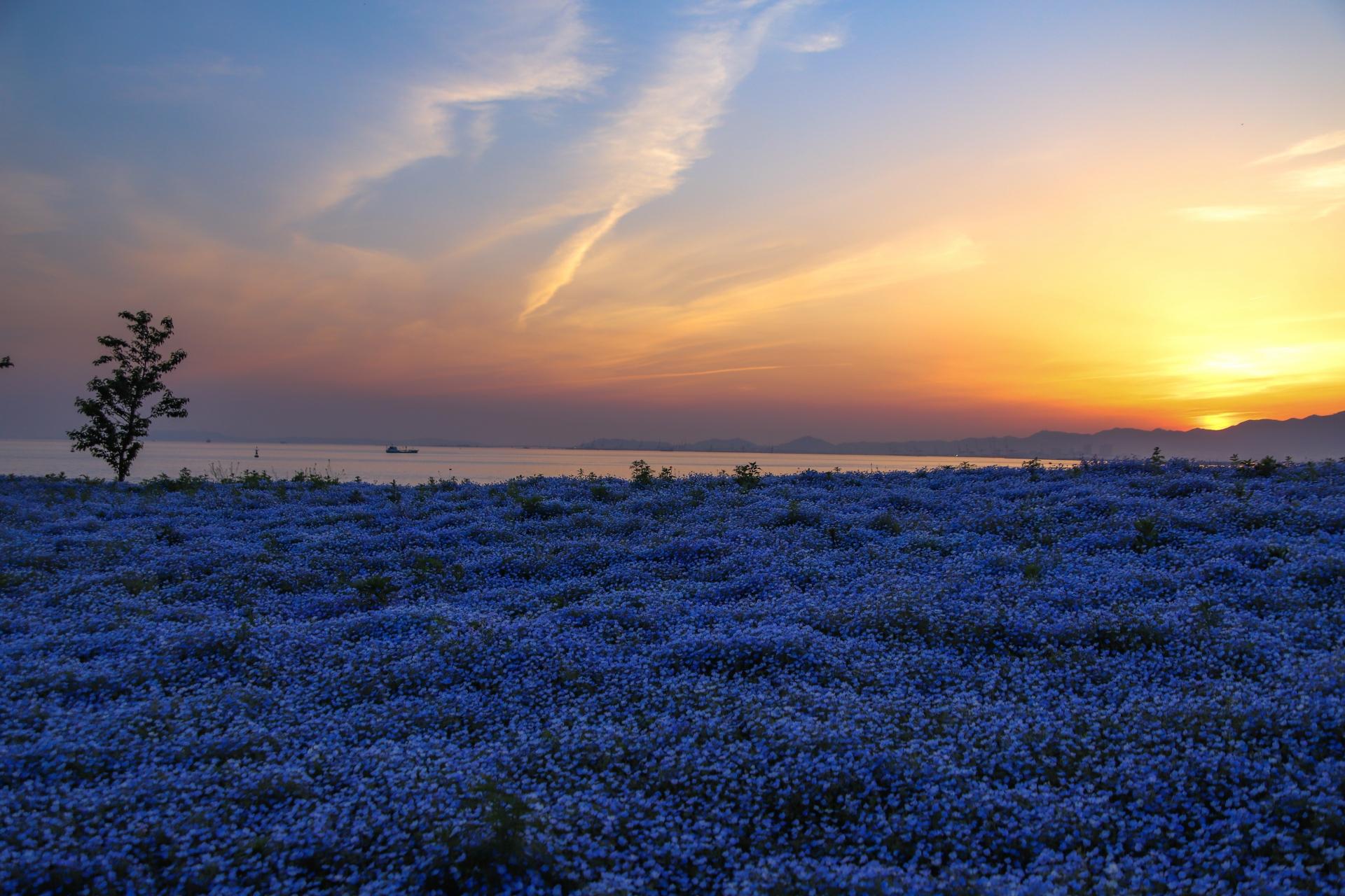 4488216_m 大阪府 大阪まいしまシーサイドパーク(一面に咲くネモフィラと空と海の青の絶景スポット! 写真の紹介、アクセス情報など)