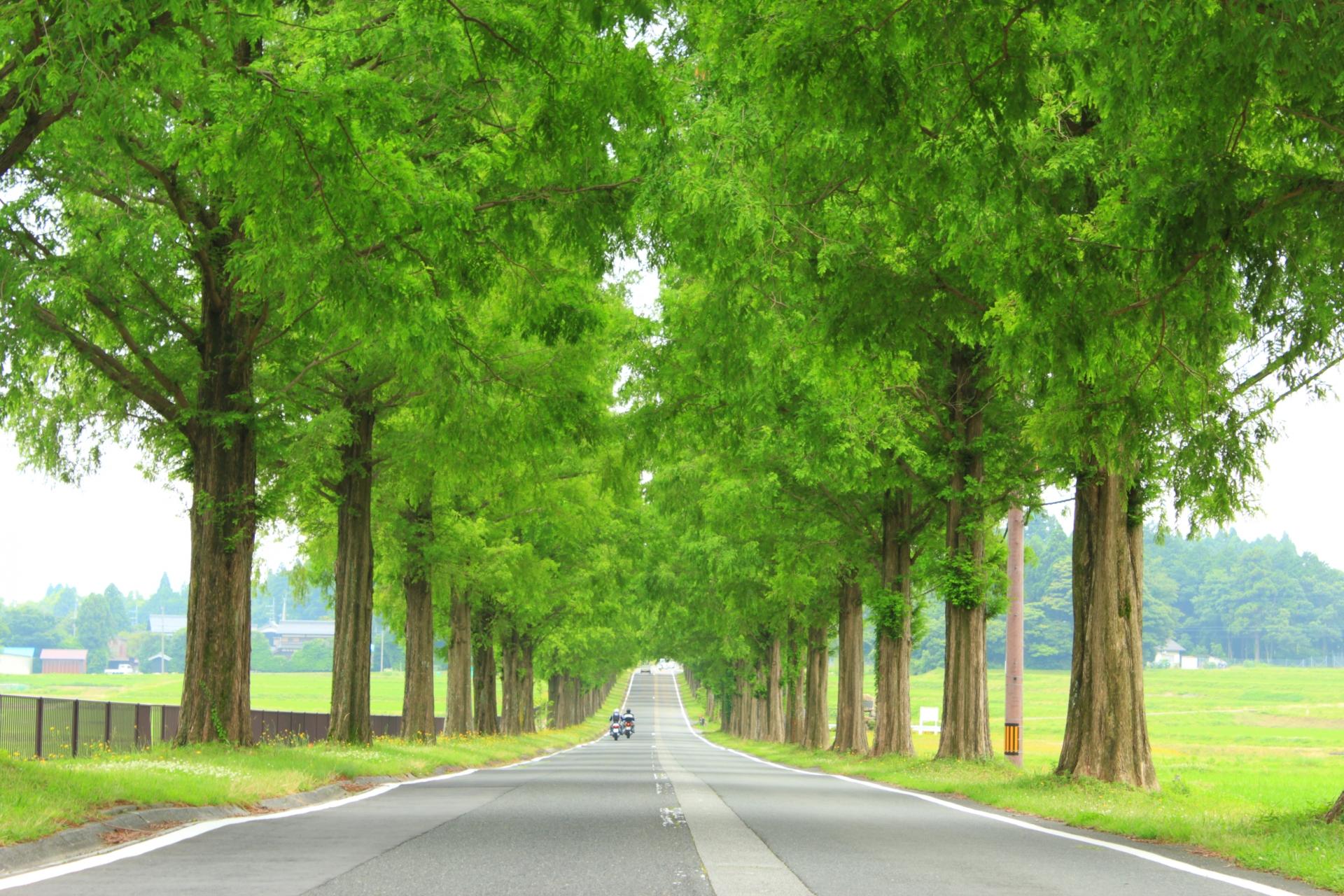 518817_m 滋賀県  メタセコイア並木(約2.4km続く絶景のメタセコイア並木! 新緑の季節におすすめのスポット。 写真の紹介、アクセス情報や駐車場情報など)