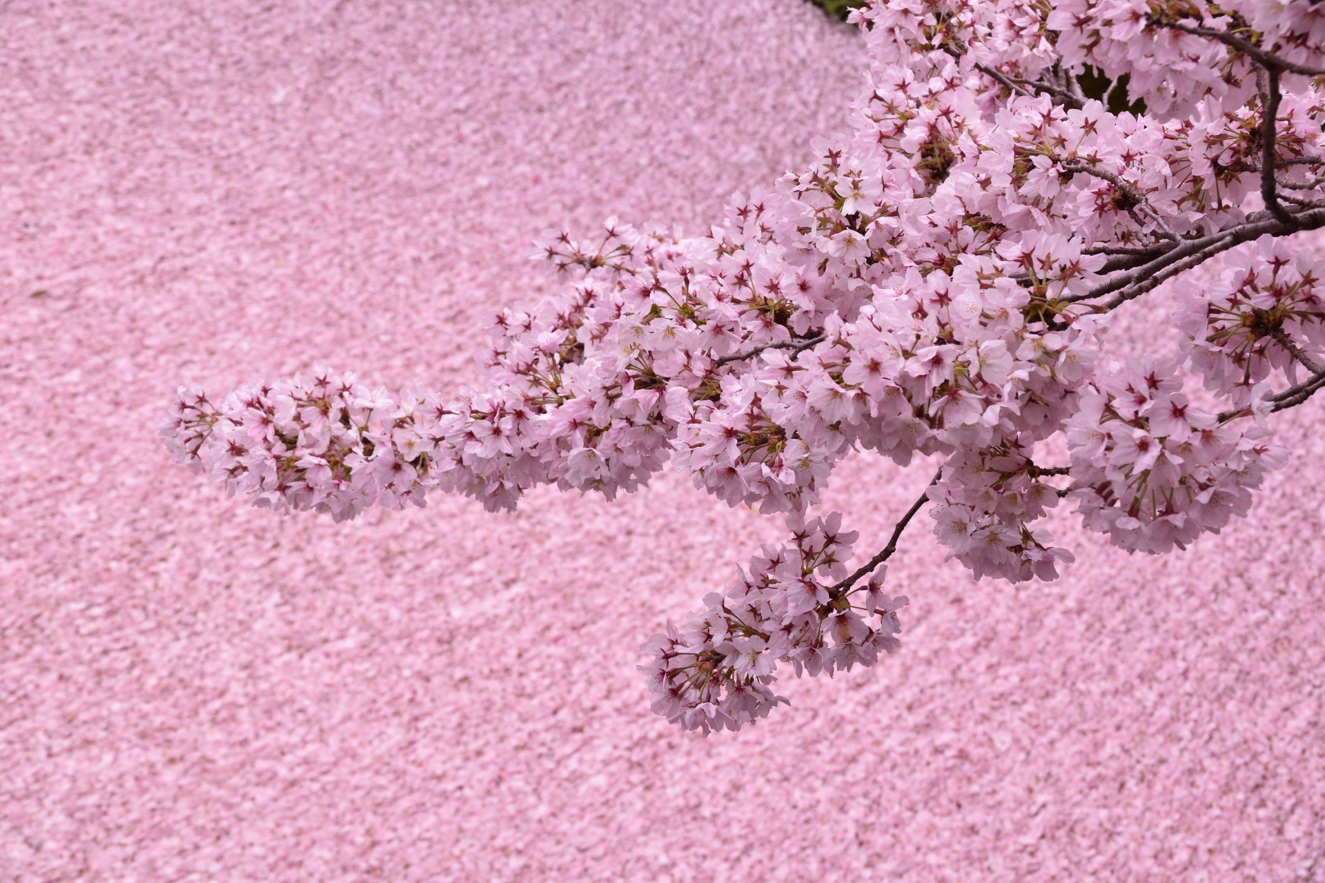 969738_m 京都府 哲学の道(疎水沿いに咲く桜の並木道が美しい春におすすめ写真スポット! 写真の紹介、アクセス情報など)