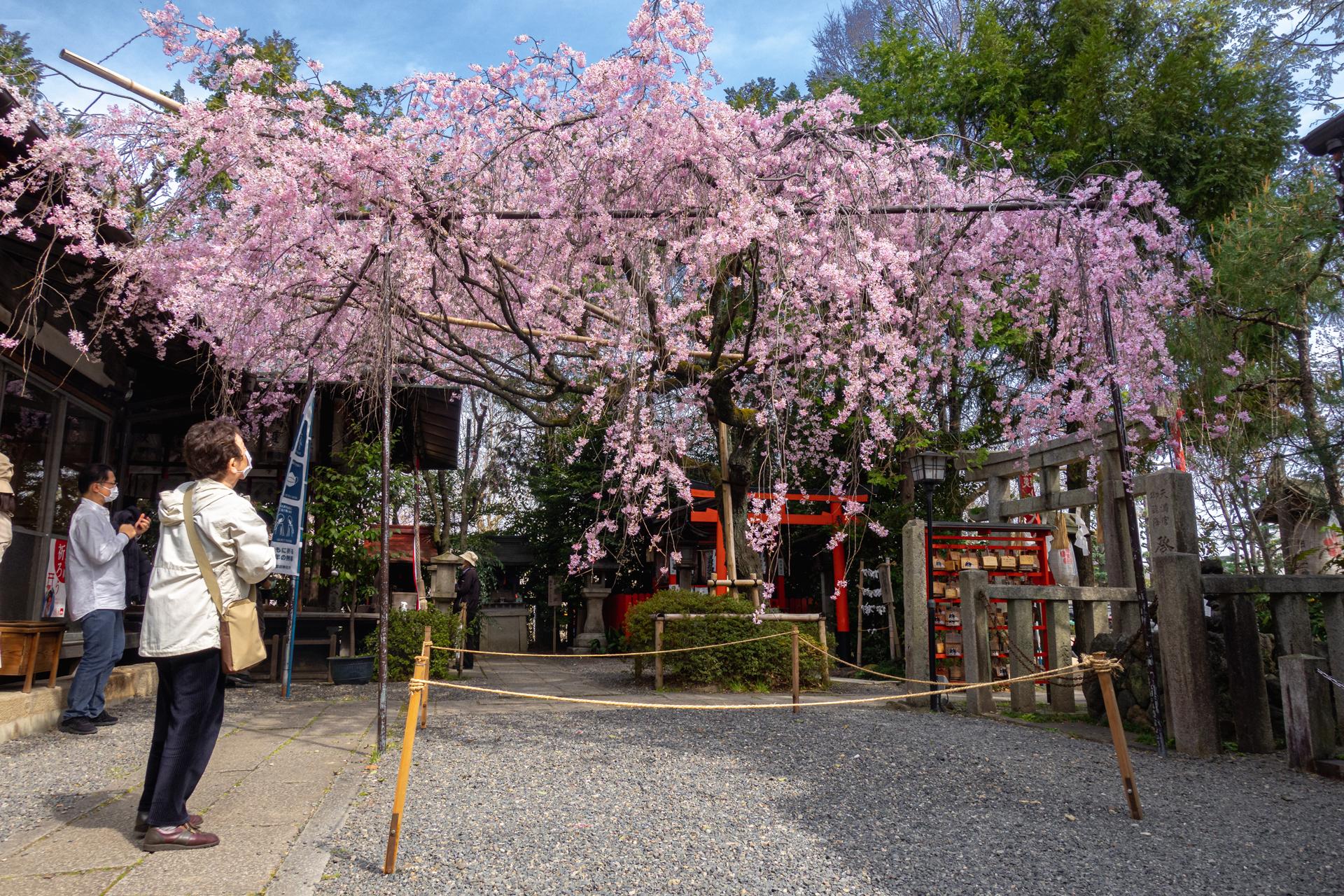 DSC05108 京都府 水火天満宮(境内に咲く紅枝垂桜が美しいおすすめの桜スポット! 写真の紹介、アクセス情報など)
