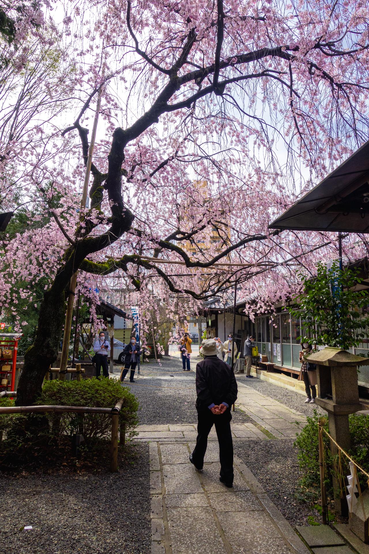 DSC05112 京都府 水火天満宮(境内に咲く紅枝垂桜が美しいおすすめの桜スポット! 写真の紹介、アクセス情報など)