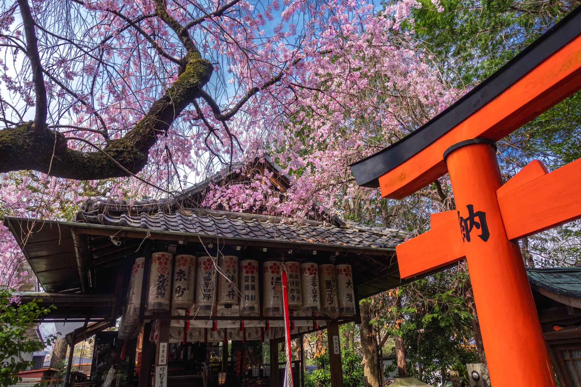 DSC05130 京都府 水火天満宮(境内に咲く紅枝垂桜が美しいおすすめの桜スポット! 写真の紹介、アクセス情報など)