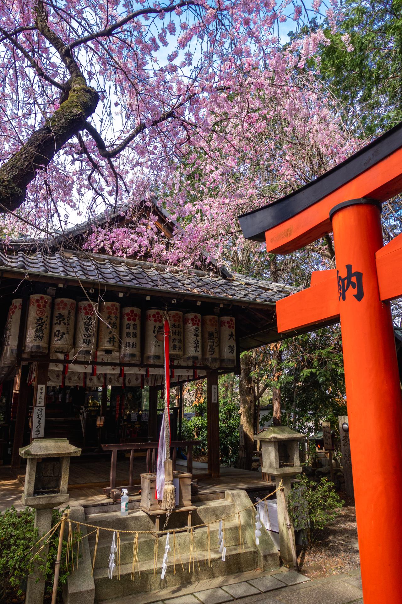 DSC05132 京都府 水火天満宮(境内に咲く紅枝垂桜が美しいおすすめの桜スポット! 写真の紹介、アクセス情報など)
