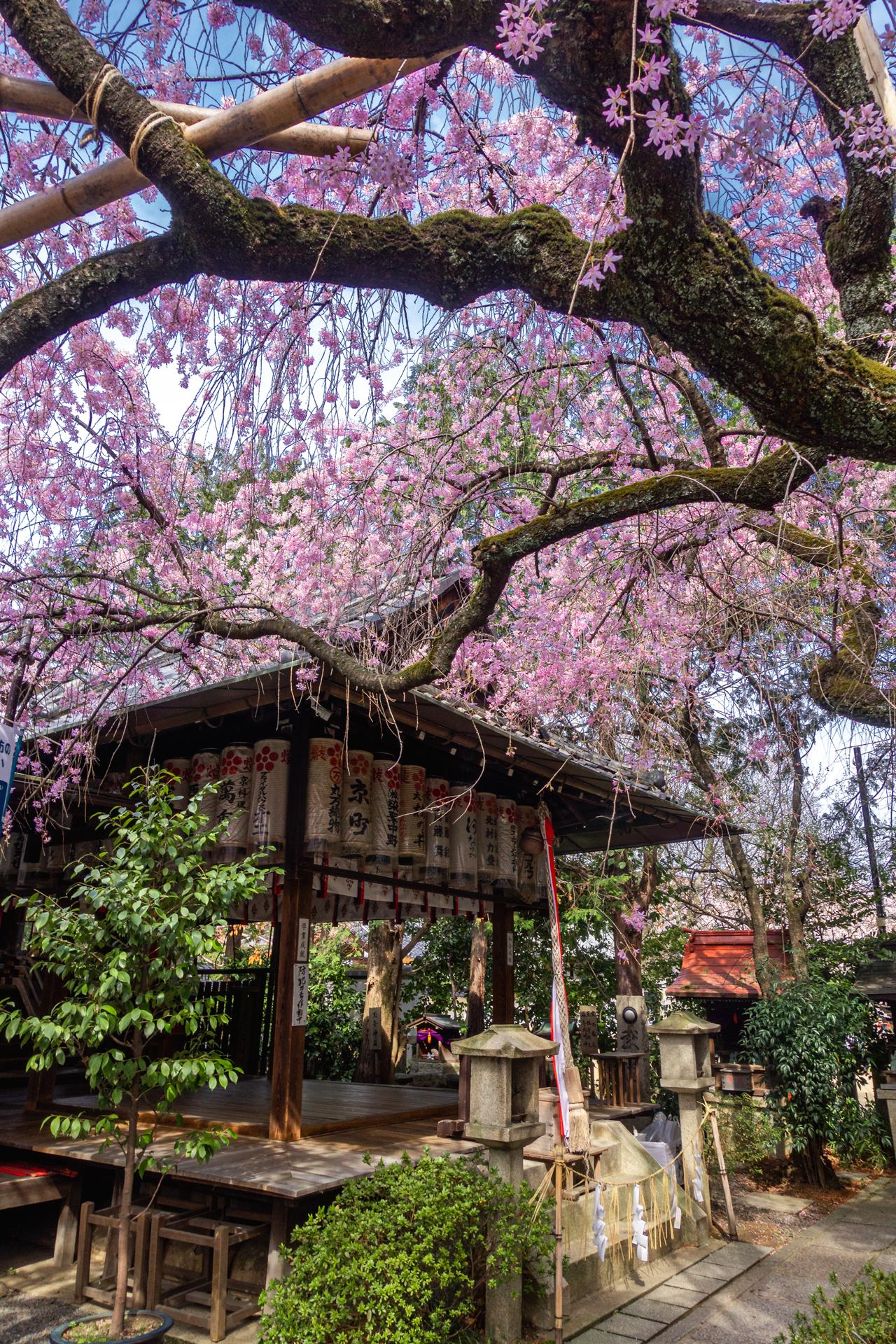 DSC05142 京都府 水火天満宮(境内に咲く紅枝垂桜が美しいおすすめの桜スポット! 写真の紹介、アクセス情報など)