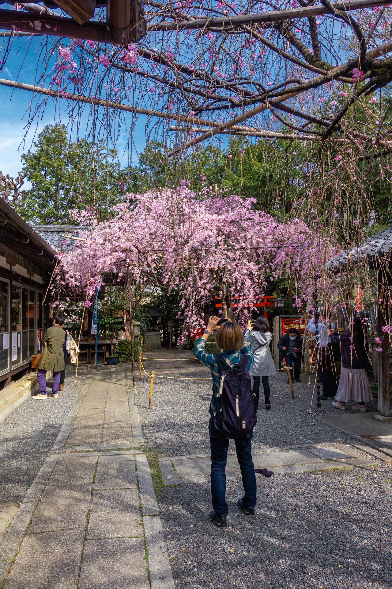 DSC05155 京都府 水火天満宮(境内に咲く紅枝垂桜が美しいおすすめの桜スポット! 写真の紹介、アクセス情報など)