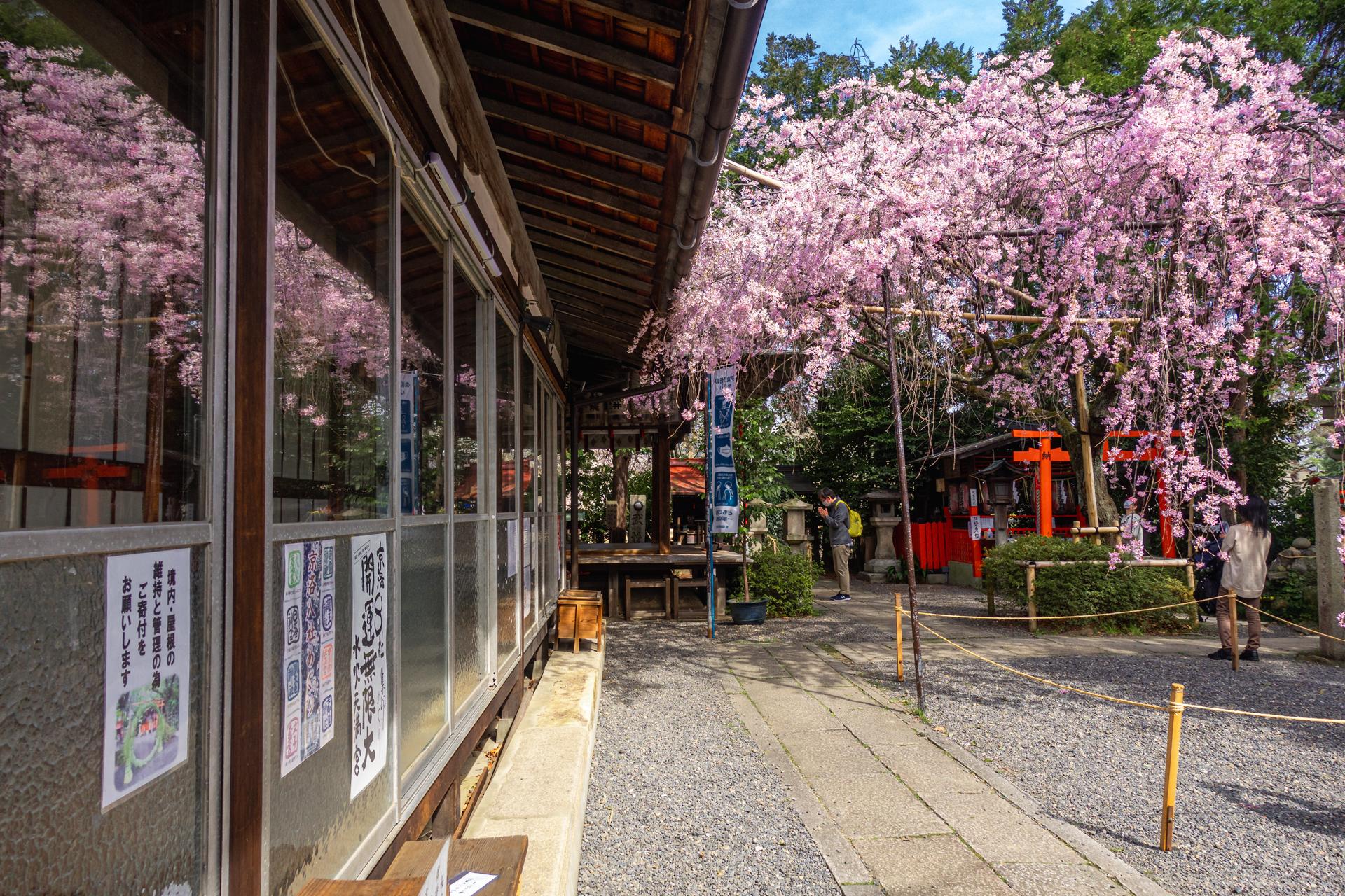 DSC05167 京都府 水火天満宮(境内に咲く紅枝垂桜が美しいおすすめの桜スポット! 写真の紹介、アクセス情報など)